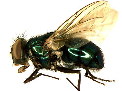 Forensic Helper, Common Green Bottle Print by Science Source