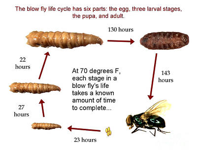 Forensic Helper, Life Cycle Of Blow Fly Print by Science Source