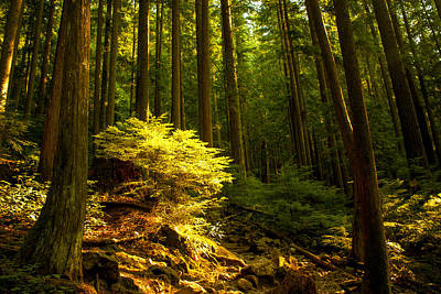 Vancouver Photograph - Forest by Matt  Trimble