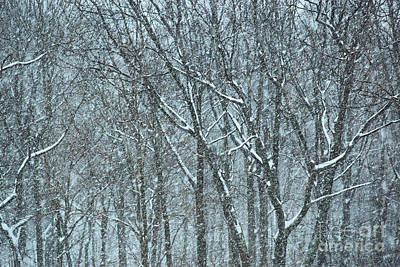 Winter Trees Photograph - Forest Snowstorm by HD Connelly