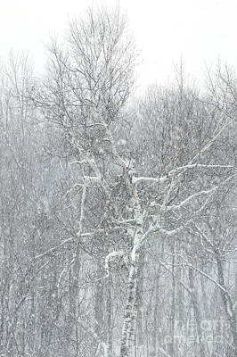 Winter Trees Photograph - Forest Snowstorm II by HD Connelly