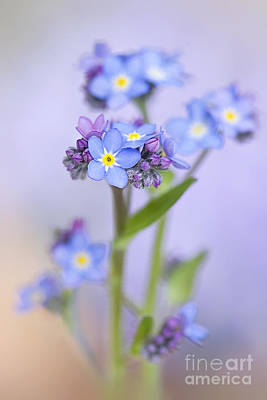 Forget-me-not Spring Print by Jacky Parker