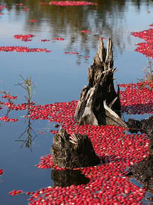 Fort Langley Cranberry Bog Print by Melodie Douglas