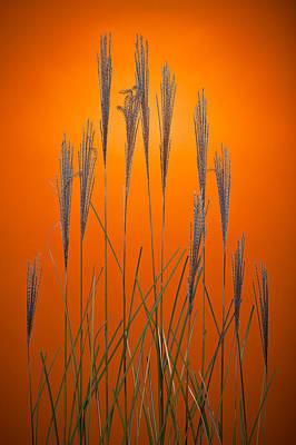 Tangerines Photograph - Fountain Grass In Orange by Steve Gadomski