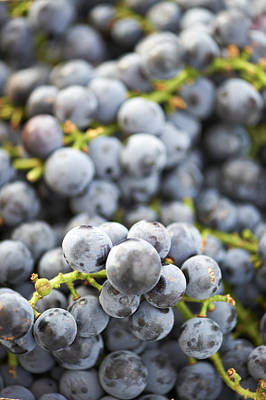 Y120907 Photograph - Fresh Concord Grapes by Cameron Davidson