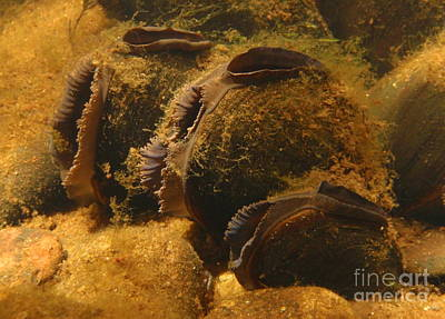 Freshwater Pearl Mussels Print by Eugene Ross