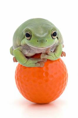 Frog On A Golf Ball Print by Corey Hochachka