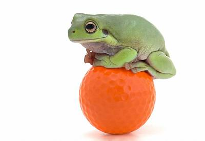 Frog Sitting On A Golf Ball Print by Corey Hochachka