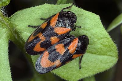 Froghoppers (cercopis Vulnerata) Print by Bob Gibbons