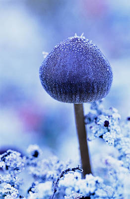 Purple Mushroom Photograph - Frost Covered Mushroom, North Canol by Robert Postma