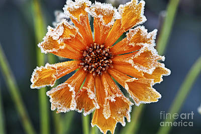 Hoarfrost Photograph - Frosty Flower by Elena Elisseeva