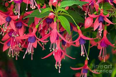 Fuchsia Windchime Flowers Print by Alan and Linda Detrick and Photo Researchers