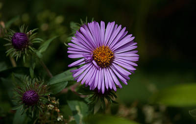 Edgecomb Photograph - Full Aster by Jessica Lowell