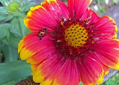 Yellow Butterfly Photograph - Gaillardia And Ladybug by Padre Art