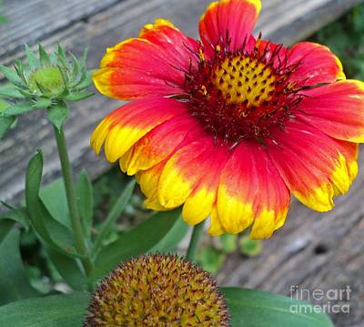 Yellow Butterfly Photograph - Gaillardia By Steps by Padre Art