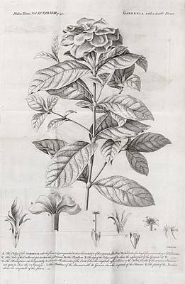 Gardenia Plant, 18th Century Print by Middle Temple Library