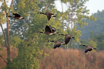 Jim Nelson Photograph - Geese by Jim Nelson