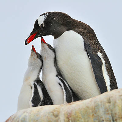 Gentoo Feeding Time Print by Tony Beck