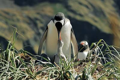 Gentoo Penguin Feeding Chick Print by Charlotte Main