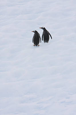 Gentoo Penguins Climb The Side Of An Print by Ron Watts