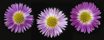 Gerber Daisy Photograph - Gerber Dasies by Darwin Wiggett