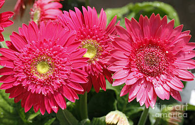 Gerbera Daisies Print by Denise Pohl