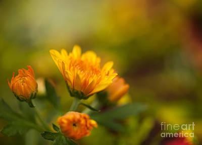 Gerbera Daisy Photograph - Gerbera Pastels by Mike Reid