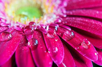 Gerbera Rain Droplets Print by Michelle McMahon