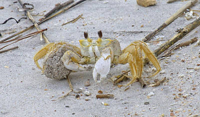 Crabs Photograph - Ghost Crab by Betsy C Knapp