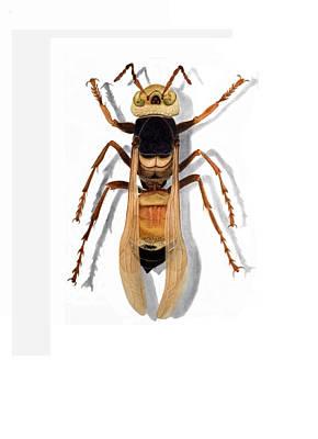 Giant Asian Hornet Print by Inger Hutton