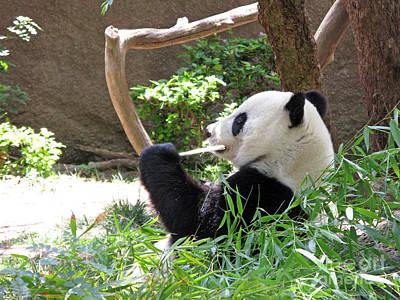 Giant Panda In San Diego Zoo 77 Print by Ausra Huntington nee Paulauskaite