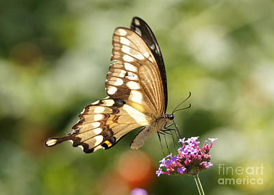 Giant Swallowtail Butterfly Print by Robert E Alter Reflections of Infinity