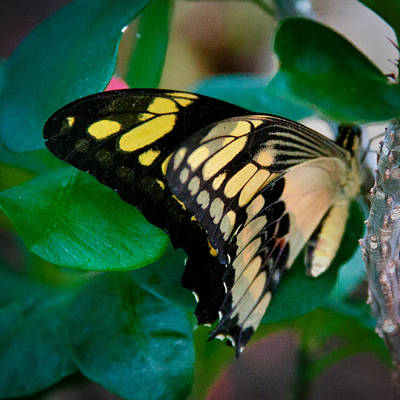 Wing Photograph - Giant Swallowtail by David Patterson