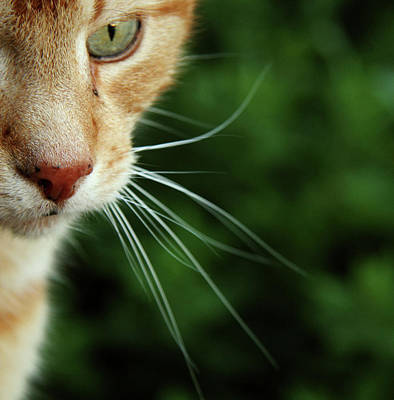 Green Eyes Photograph - Ginger Cat Face by If I Were Going Photography - Leonie Poot