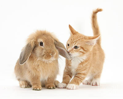 Ginger Kitten And Young Sandy Lop Rabbit Print by Mark Taylor