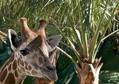Giraffe With Tree Print by Jack Scicluna