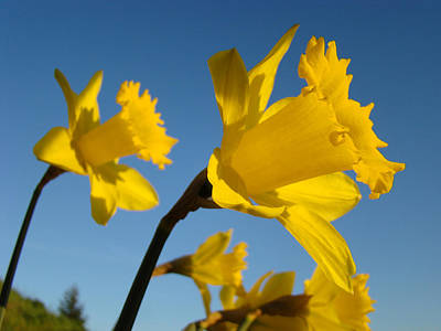 Glowing Yellow Daffodil Flowers Art Prints Spring Print by Baslee Troutman
