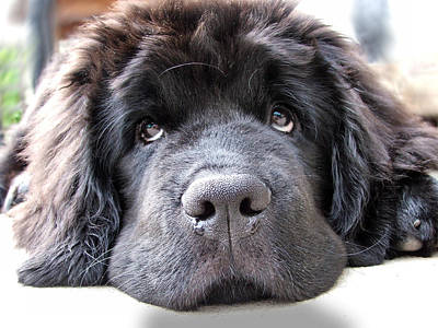 Newfoundland Dog.puppy .puppy Dog Eyes Digital Art - Glum by Gary Yates