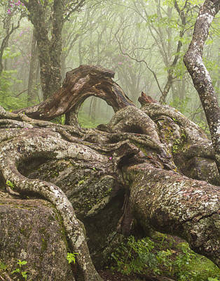 Gnarly Old Tree In Fog Along The Blue Ridge Parkway Print by Bill Swindaman