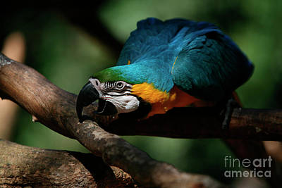 Gold And Blue Macaw Parrot Print by Keith Kapple