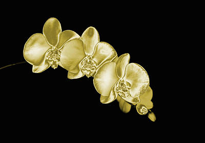 Y120907 Photograph - Gold Phaelenopsis Orchid On A Black Background by Mike Hill
