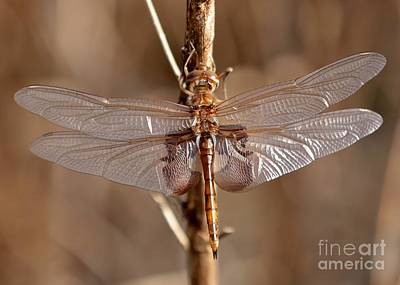 Macro Dragonfly Photograph - Golden Dragonfly Wings by Carol Groenen