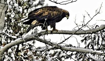 Canadian Photograph - Golden Eagle Watches by Don Mann