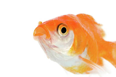 Goldfish Photograph - Golden Fish by Buy It