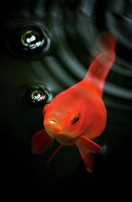 Goldfish Photograph - Golden Fish In Water by JodyTroodPhotography