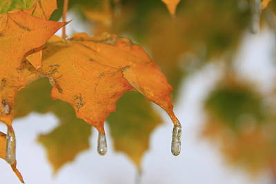 Golden Leaves Silvery Drops Print by Cynthia  Cox Cottam