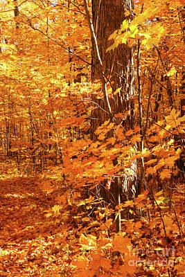 Vivid Fall Colors Photograph - Golden Maple Trees by Sandra Cunningham