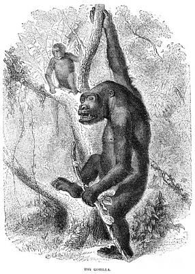 Gorilla Print by Granger