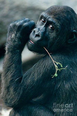 Gorilla Has A Snack Print by Andrew  Michael