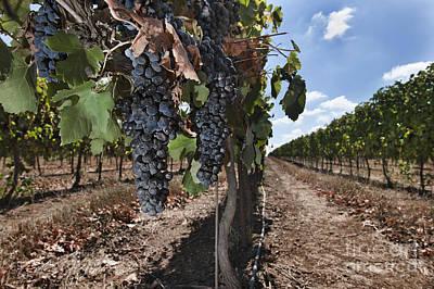 Grapes Hanging On Vine Print by Noam Armonn